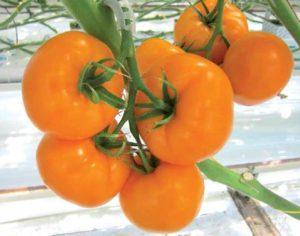 томат биоранж